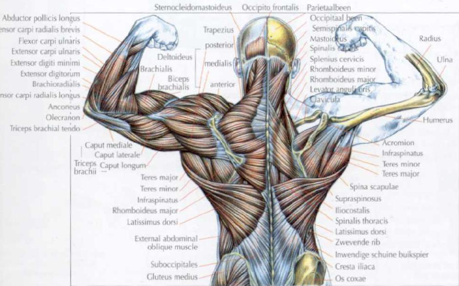 Muscles Diagrams